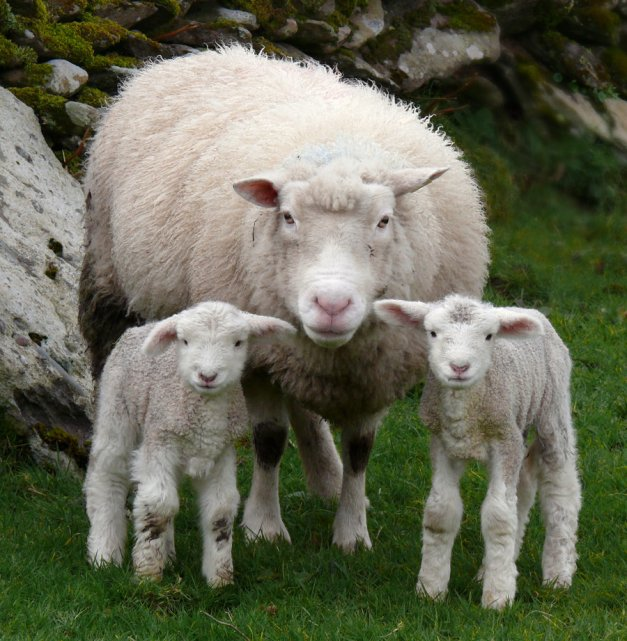 Sheep_by_cprmay